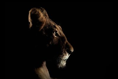 Wim van den Heever - Lion0305