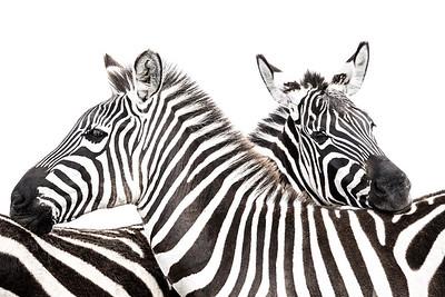 Wim van den Heever - Zebra3325