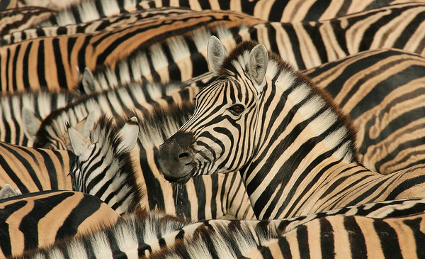 Wim van den Heever - Zebra 002