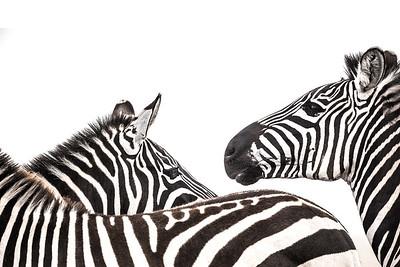 Wim van den Heever - Zebra3309