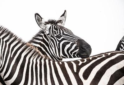 Wim van den Heever - Zebra3319