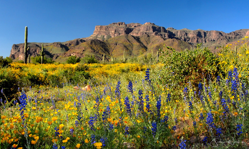 Superstition Mountains with Lupine and Poppies Gold Canyon AZ