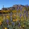Lupine and Poppies, Southside Superstition Mountains, Gold Canyon AZ