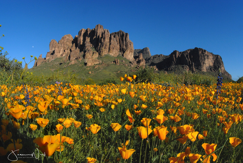 Poppies Superstition Mountains Lost Dutchman State Park, AZ
