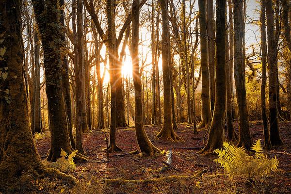 Muckross Wood's Sunburst