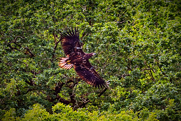 White Tailed Eagle Killarney