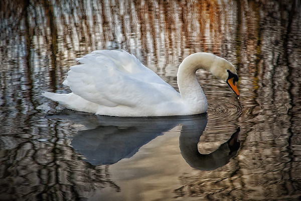 Swan in Rushes