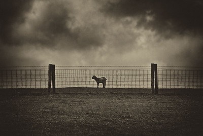 Lonely Sheep