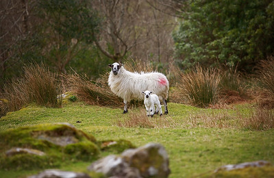 Sheep & Lamb in The Black Valley