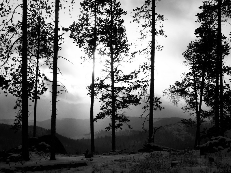Sun set on the Lodgepole Pines