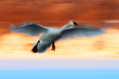 Rainbow Trumpeter Swan