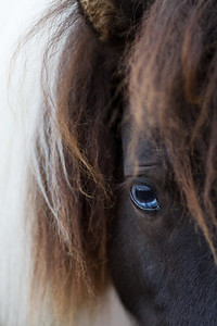 Miniature Blue Eyed Horse