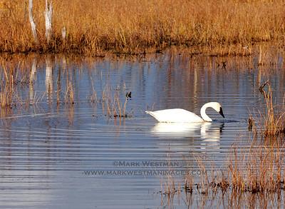 Trumpeter swan near Talkeetna, Alaska.