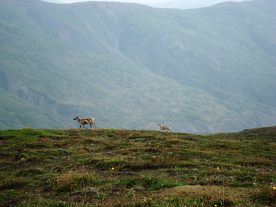 Caribou and calf, Talkeetna Mountains.