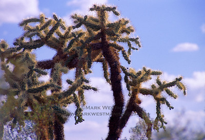 Chain Cholla cactus, Arizona.
