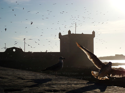 Gulls on the Atlantic coast at Essaouira, Morocco.