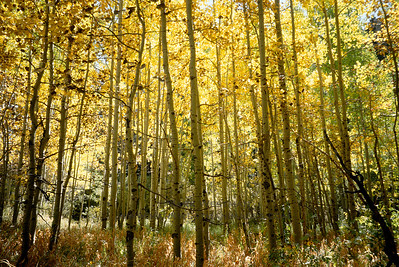 Aspen forest in autumn near Lee Vining, California.