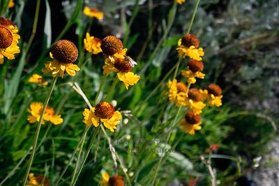 Sierra flowers near Mount Whitney, California.