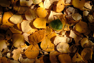 Detail of aspen leaves in autumn, Sierra foothills.