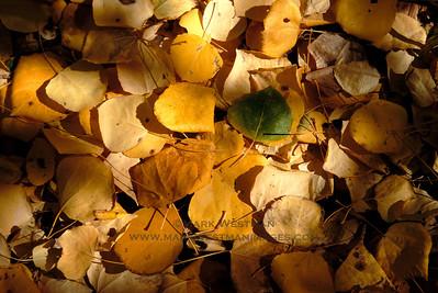 Detail of aspen leaves in autumn, Sierra foothills.