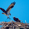 Fish Wish<br /> Watching an osprey fish is awe-inspiring. This family enjoyed a tasty bit of Peconic Bay sushi