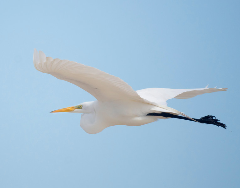 Great Egret<br /> Capturing this majestic beauty in flight was a great challenge. It required the right combination of light, proximity to the bird and wing position to create an image that showcases the finer points of this beautiful creature.