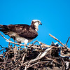 Watch the Snake!<br /> What a surprise to find a snake dangling from the Osprey's nest. Clearly this unlucky serpent is the main course for dinner at this house!