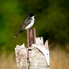 Looking for a Sign<br /> This Eastern Kingbird loved this perch, and was often found there planning its next move, or singing its heart out--attracting a mate perhaps? Or defending its territory, more likely. The pickings were ripe at the edge of the marsh.