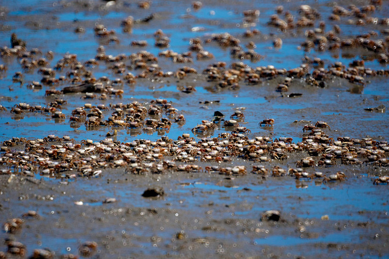 Fiddler Army<br /> Low tide put this army of fiddler crabs on the move. This mudflat was covered with them scurrying from one hole to another hiding from predators and mid-July sun.