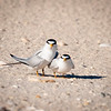 Privacy Please!<br /> The mating dance of least terns is quite a spectacle-hither and thither, to and fro-all in clear view of all to observe. This pair seemed to tire of the attention, glaring right at the camera to express their dismay.