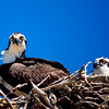 No Tresspassing<br /> With young in the nest, this Osprey was taking no chances, and watched the photographer's every move. The photographer just prayed there would be no gift from above to chase us off. How do you get Osprey poop off a camera lens? All ended well, right after this capture, we moved away.