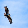 Soaring Osprey<br /> The opportunity to capture an Osprey soaring overhead with its wings backlit is rare. The light clouds in the sky gave just the right texture.