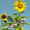 Patriotic Sunflower<br /> (prints best at 11x14 or 5x7)