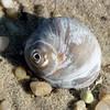 Bailies Beach Shell