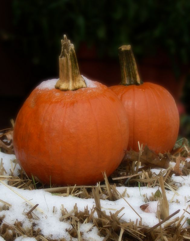 Frost on the Pumpkins<br /> (prints best at 11x14 or 5x7)