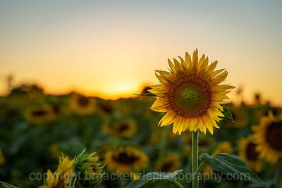 Jessica's Sunflower Field