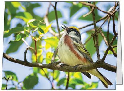 Male Chestnut-sided Warbler
