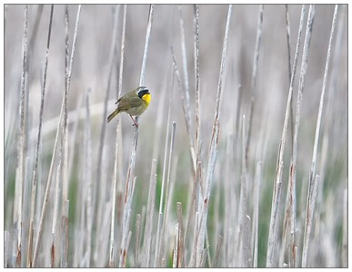 Male Common Yellowthroat in the reeds