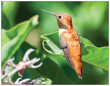 Male Rufous Hummingbird, perched on leaf