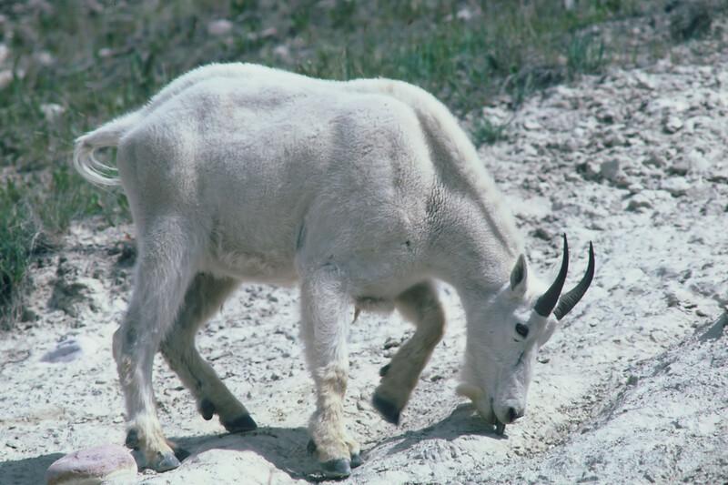 Mountain Goat at the salt lick, Jasper National Park, Alberta, Canada