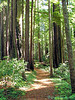 Trail through the trees at Redwood National Park, California