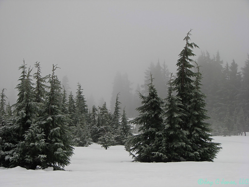 Snowy Pines, Crater Lake National Park, Oregon