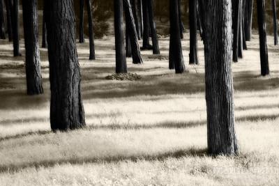 S160-5197 Presidio Trees