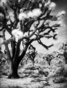 S133-23-4 Joshiua Tree
