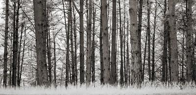 S183-1436c 17 mile drive trees