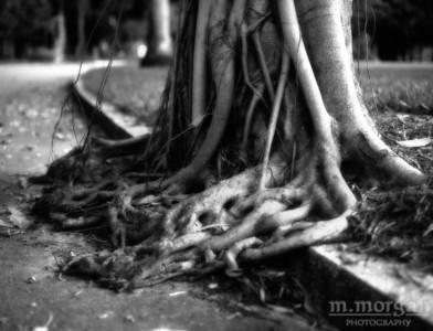 S155-5-17 Banyon Roots