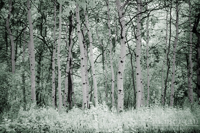 2432 Aspen Trees