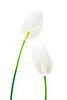 6567 White Tulips-Master