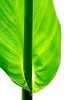 1430 Canna Leaf v4 Master