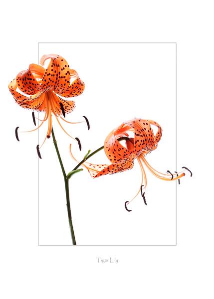 1268-Tiger Lily Card Draft